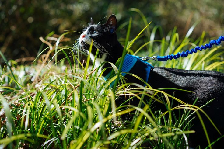 With the proper harness and a bit of patience, leash training your cat is a straightforward process. Follow these steps!