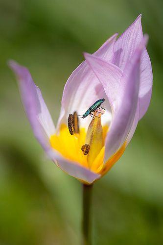 Colorful microcosmos (Psilothrix viridicoerulea in Tulipa saxatilis)