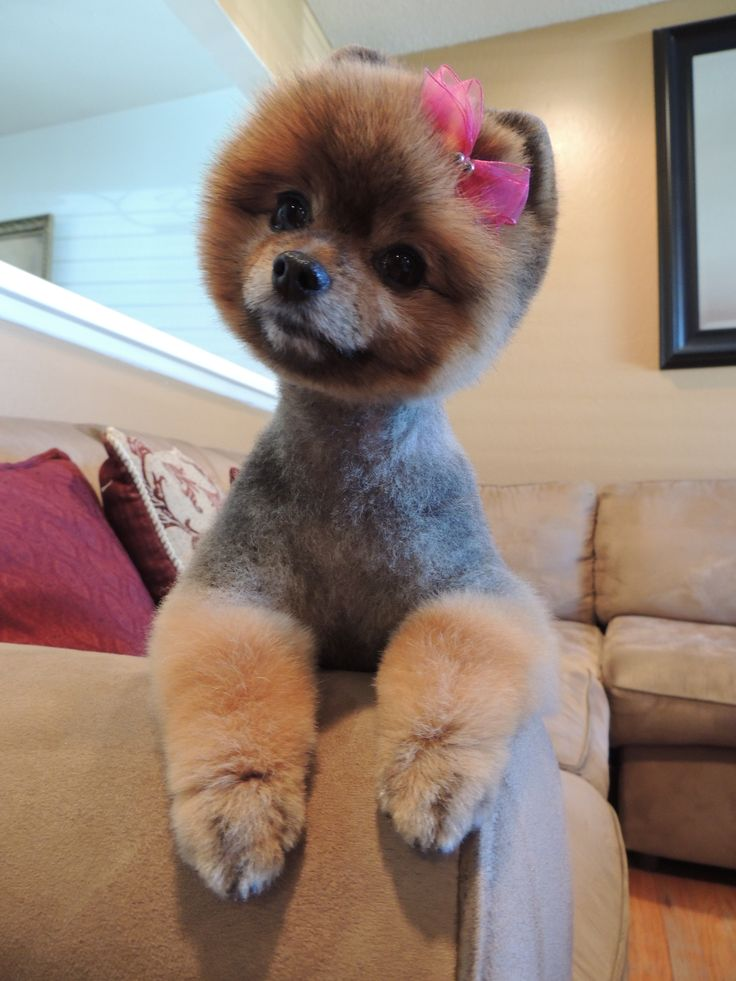 Haircut For Lola Dogs Dog Grooming Tips Dog Grooming