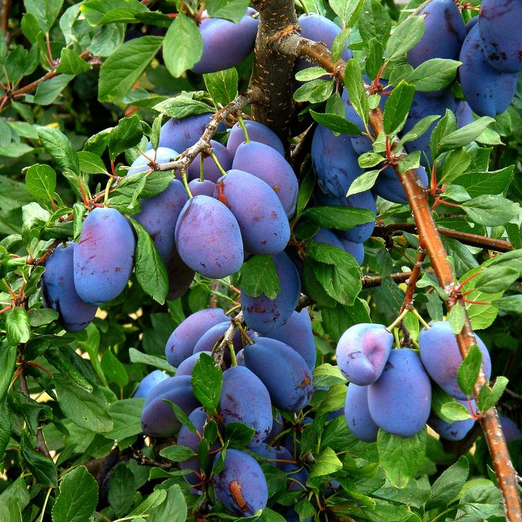 Growing Prune Trees: Information On Italian Prune Tree Planting