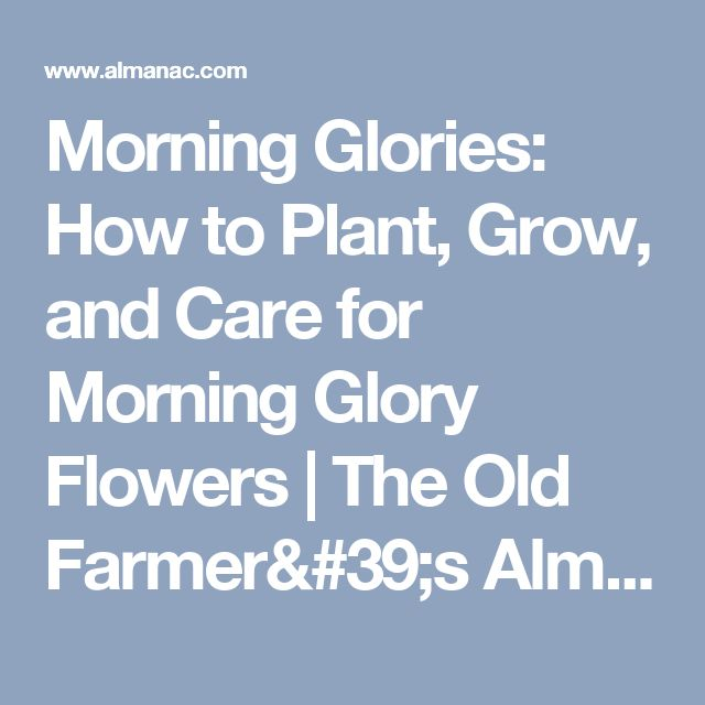 Morning Glories: How to Plant, Grow, and Care for Morning Glory Flowers   The Old Farmer's Almanac