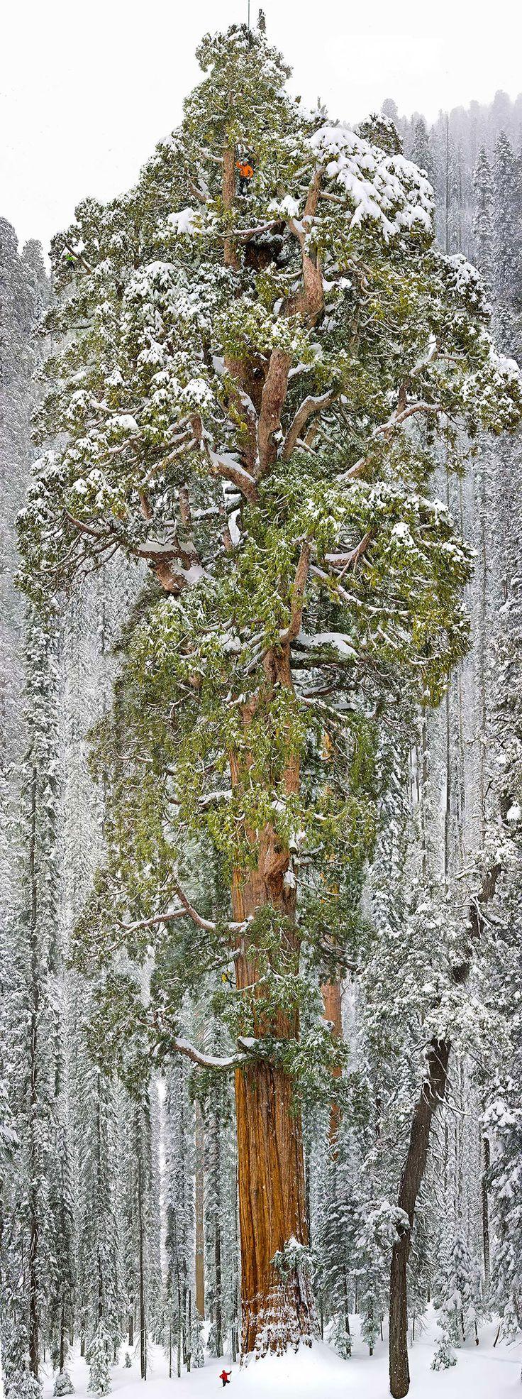 A Presidente, a terceira maior Sequoia gigante do mundo, Califórnia Presidente, localizada no Sequoia National Park, na Califórnia, tem 73 metros de altura e tem uma circunferência terrena de 28 metros. É a terceira maior sequóia gigante do mundo (segunda, se você contar os seus ramos, além de seu tronco).