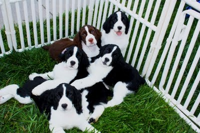 English Springer Spaniel puppies...just adorable!  They love to lay on each other ... and their owners!