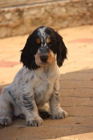Cocker Spaniel Anglais                                                                                                                                                      Plus