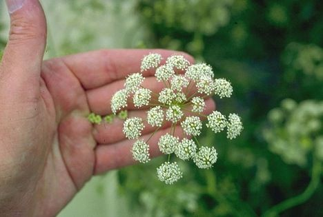 Water Hemlock  Most violent toxic plant in North America.  Grows in meadows and along stream banks, it is the plant's roots that contain deadly sap that when touched or eaten, causes grand maul siezures and death.