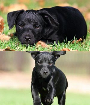 Patterdale Terrier puppy- looks like my Josie <3