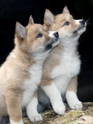 Healesville Sanctuary's Dingo puppies