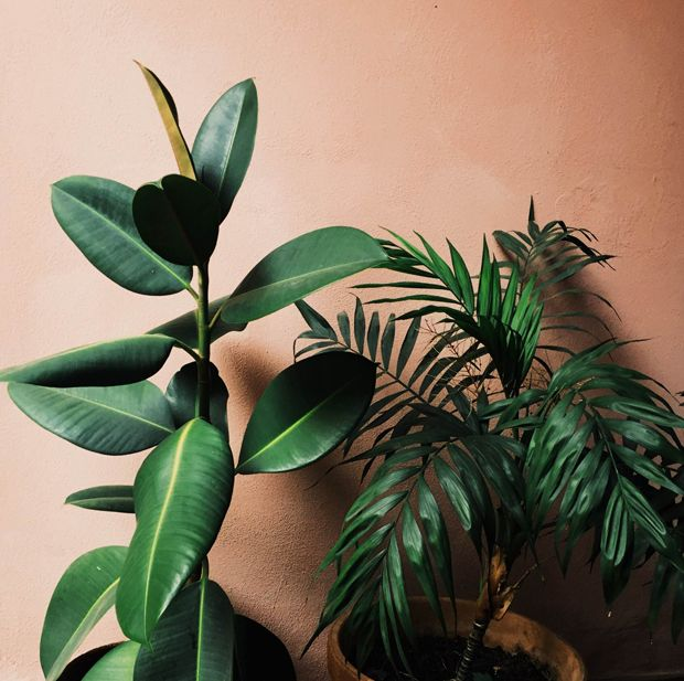 The rubber tree, is a great plant to help build your confidence. It's hearty, beautiful, and grows large pretty quickly