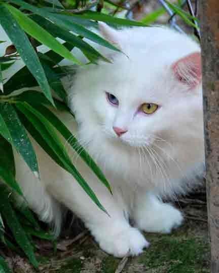 hypoallergenic cats for sale | Siberian cats, kittens for sale in Texas. Hypoallergenic cats