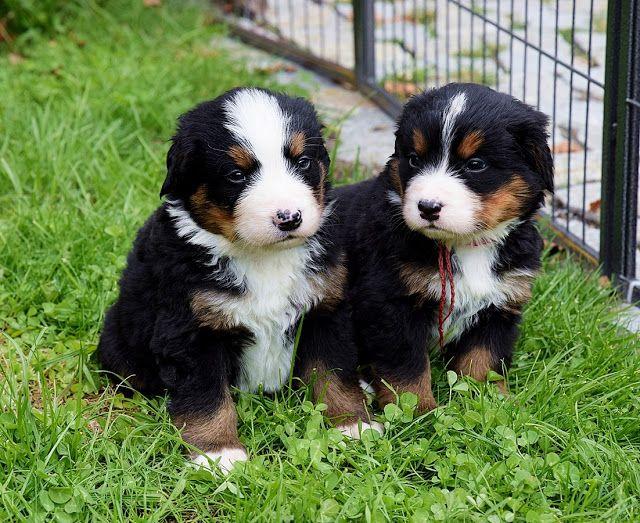 Berner Sennenhund Welpen Einfach Zum Liebhaben Berner
