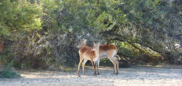 Red lechwe at the dam.