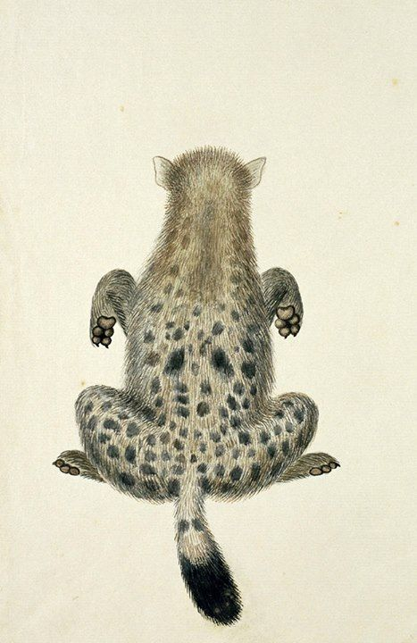 Hiena cętkowana /Hyena, tijgerwolf/ (Robert Jacob Gordon, 1777, Amsterdam, Rijksmuseum)