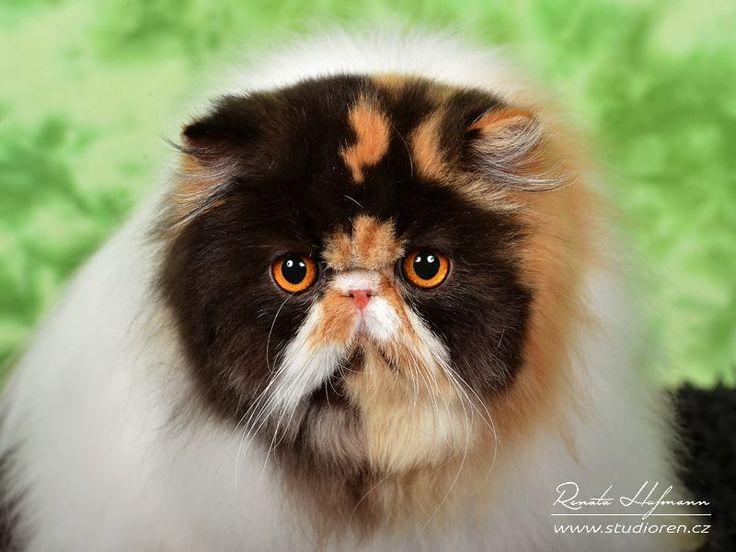 Perská kočka OPULÉNCIA La Capuccino - PER f 02 62 / želvovinová harlekýn