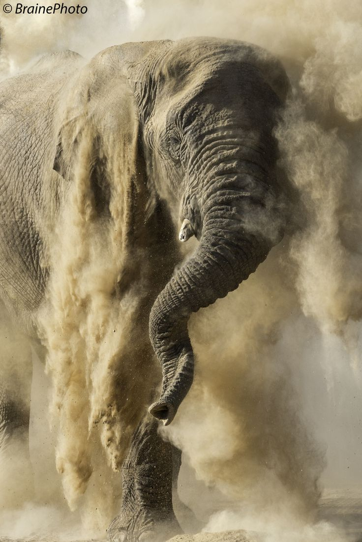 A lonely bull Desert adapted elephant dusts himself in a coating of powder in the Aba Huab Valley.