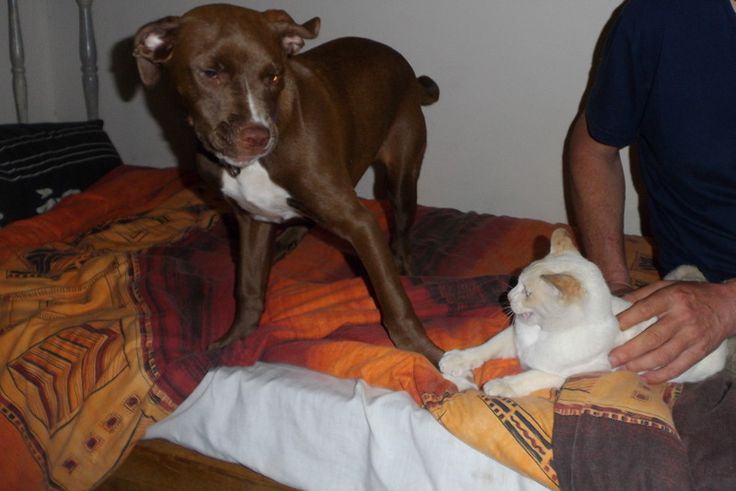 Who said Pitbulls cannot have cat friends... here I am playing with my sister Cuddles https://www.facebook.com/pages/Zsa-Zsa-the-Rescue-Pitbull/742159279166031