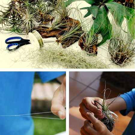growing air plants tillandsia grow without soil create hanging displays of airplants. Black Bedroom Furniture Sets. Home Design Ideas