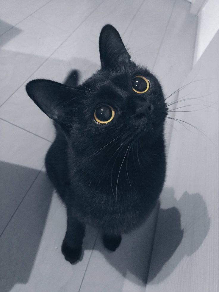 Rudolf The Black Cat