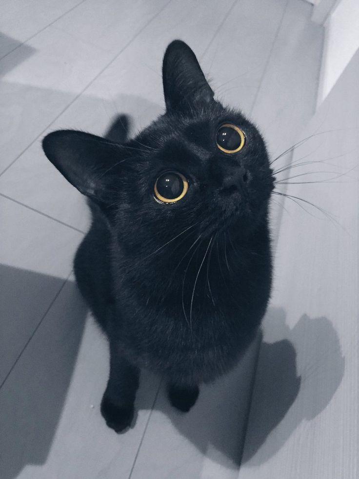 そろそろ可愛さに対する語彙力がなくなってきた。くぁいぃ |黒猫くくと三毛むぎさんのTwitterで話題の画像