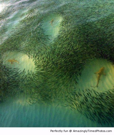 Amazingly timed photos shark circles amazing for Fish to avoid