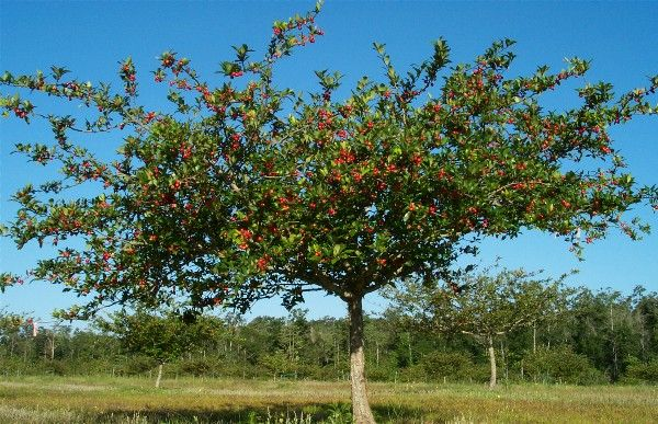 Mayhaw Tree - native fruit tree.  Link is to Two Men and a Little Farm blog.