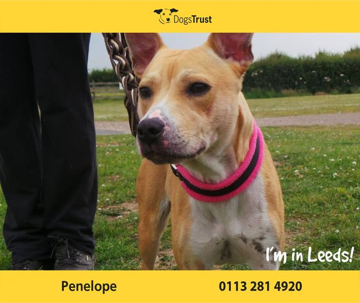 Penelope at Dogs Trust Leeds is just the sweetest little dog who lacks in confidence. She can be clingy with people she knows and will need owners around most of the time initially. Penelope has a skin condition which is being treated by our vet so we have been unable to mix her with other dogs. For now, she may be better as the only dog in the home.