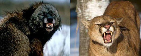 wolverine vs cougar vs puma