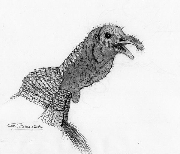 Wild turkey drawing
