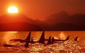 Pod of Orca Whales on the West coast of Vancouver Island British Columbia Canada