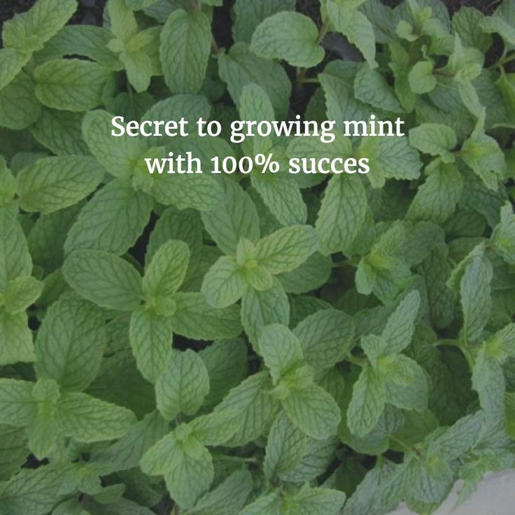 How to grow Mint from cuttings. In most of my posts/comments, I recommend people to start with plants such as mint that are very easy to grow. Mint for example, is easily available. It grows invasively and very easy to propagate. Or is it? I received many questions on how to grow mint from cutting