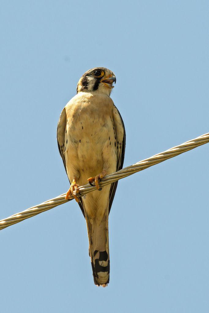 Amerikaanse torenvalk (Falco sparverius) American Kestrel