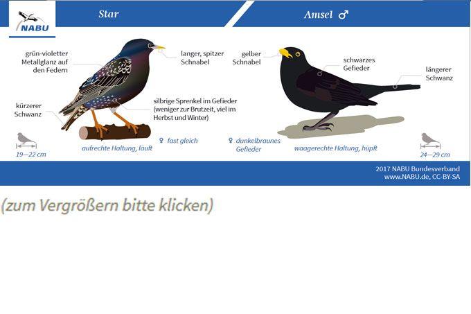 Vögel bestimmen: Leicht zu verwechseln - NABU
