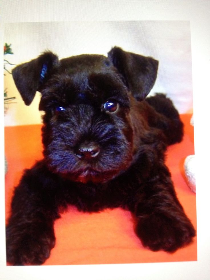27 Best Images About Mini Schnauzers On Pinterest Giant