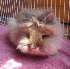 Rabbit breed profile: Lionheads. Wonderful Pets
