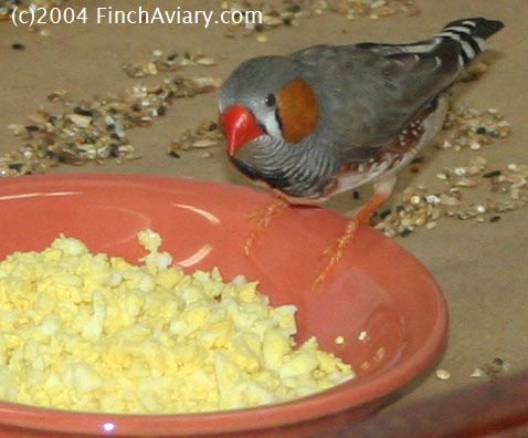 Egg Food Recipes For Zebra Finches