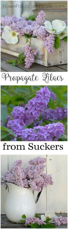 A favorite Spring flower is the Lilac, these perennial bushes which can grow to tree size are easy to propagate from suckers they shoot up around their base. Come see how you can get even more lilacs for your garden.  Swap with friends for a variety of colors, all for FREE! - Flower Patch Farmhouse