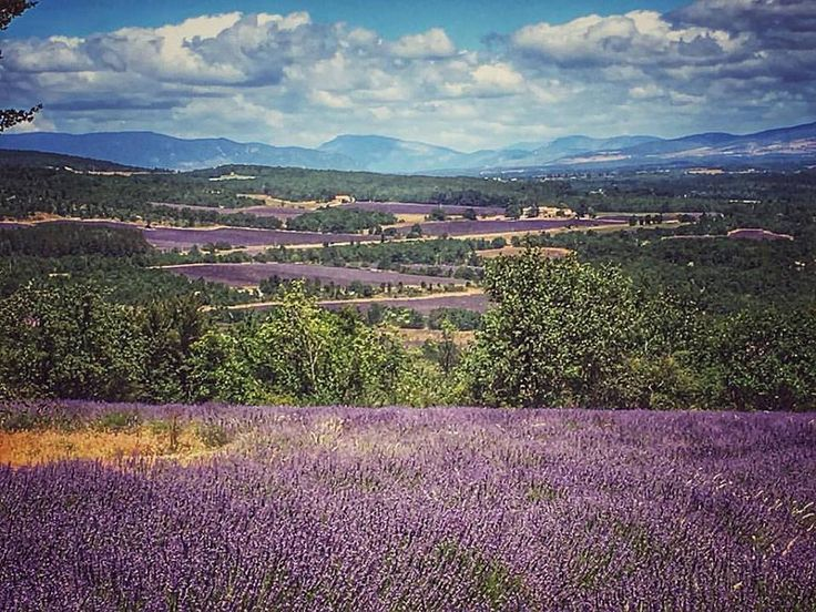 Our Young Living Lavender, France. ~ Kim, YL #1146129