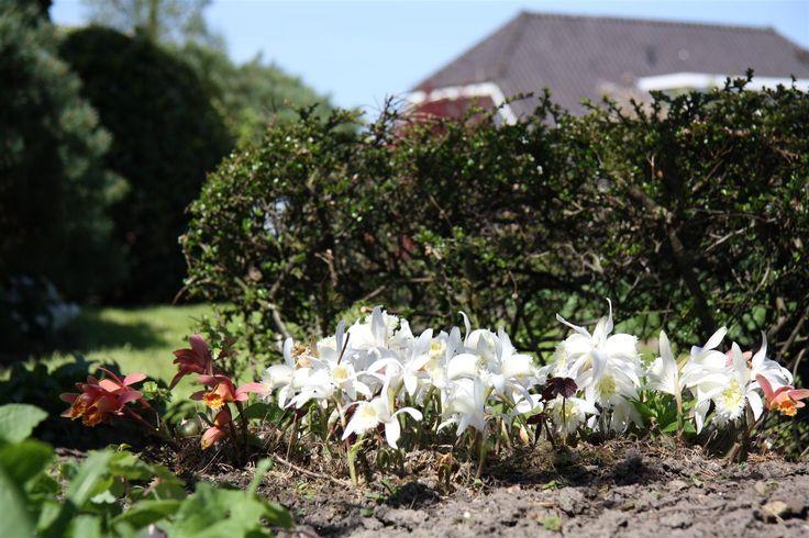 Snow white Pleione stand out in the garden during spring. #garden ©Anthura