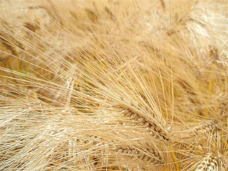 L'huile de germe de blé exerce une action protectrice sur la paroi des artères et abaisse le taux de cholestérol dans le sang