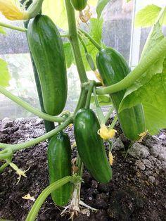 Komkommer | Diana's mooie moestuin