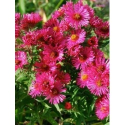 94 best images about piet oudolf 39 s favourite perennials on for Piet oudolf favorite plants