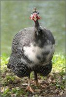 Цесарки | Крупнейший форум для птицеводов, всё о разведении и содержании домашней птицы