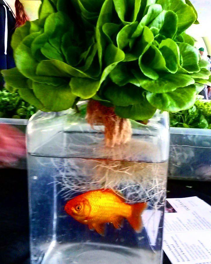 via @stickler64: Aquaponic watercress @ Sacramento farmers market #sacramento #sacramentofarmersmarket #sacfarm2fork #xstreetfarmersmarket #exploresac #sac