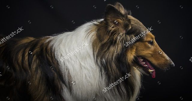 collie pastore scozzese