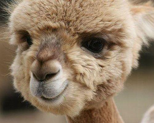 Smiling baby alpaca!