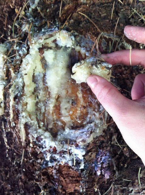 collecting pine resin (for making incense, pitch, natural wood finish, and lots of other uses)