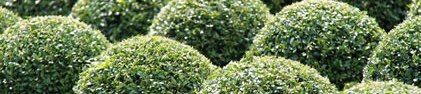 Crown Topiary,  234 North Road,  Hertfordshire,  SG14 2PW,  UK.  www.crowntopiary.co.uk