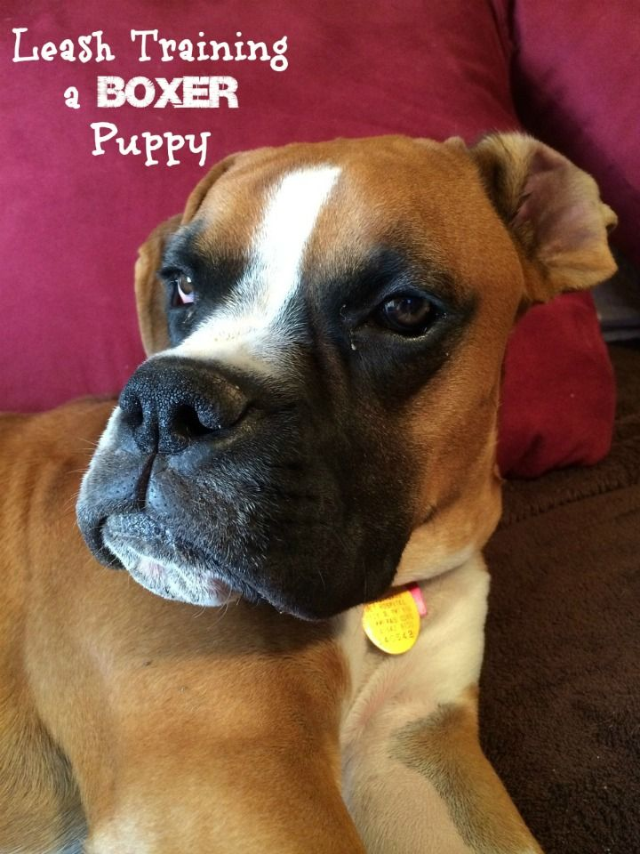 Leash training a boxer puppy can be difficult. The breed is highly energetic and can be very goofy. It takes patience! Check out our tips to make it happen!