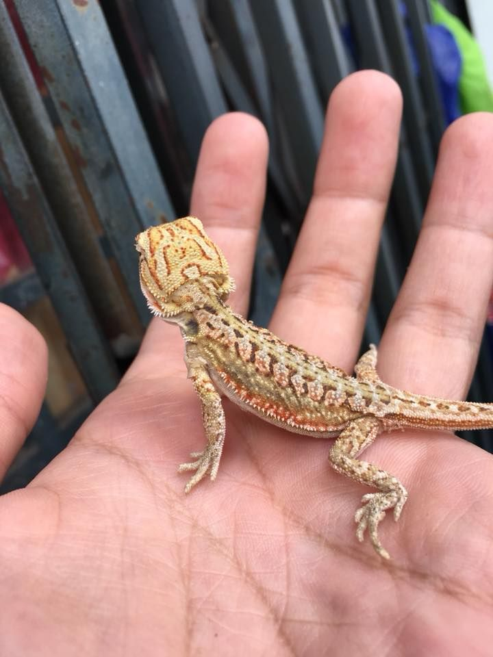 Holding A Young Bearded Dragon In 2020 Bearded Dragon Baby Bearded Dragon Bearded Dragon Cage