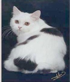 Schwarz-Weiß Manx Katze