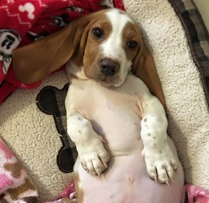 Pin By Poppy P On Basset Hounds Puppies And Kitties Wild